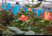 بزرگترین گلخانه هوشمند هیدروپونیک گل رز استان کرمان به روایت تصویر