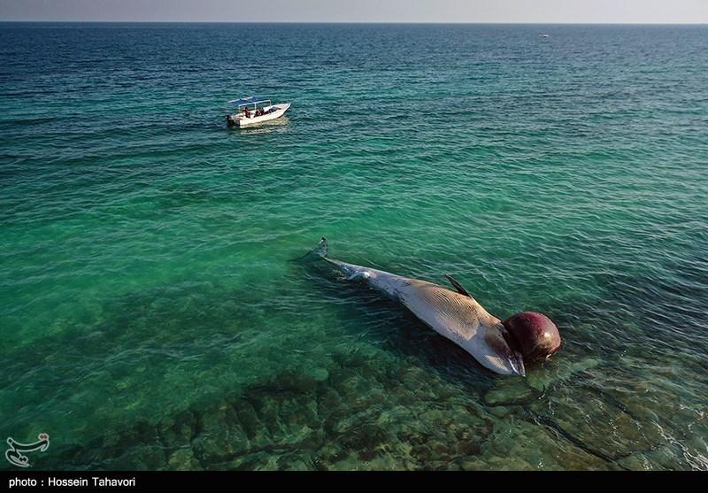 ماجرای مرگ دومین نهنگ به فاصله 10 روز چه بود؟/باز هم پای تورهای صید ترال در میان است + تصاویر