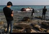 دومین لاشه نهنگ در آبهای ساحلی کیش