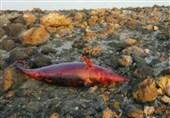 لاشه یک دلفین در ساحل کیش پیدا شد/ ترال بازهم دردسر ساز شده؟