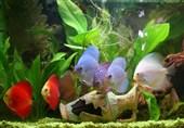 فرصت پرورش ماهیان زینتی در چهارمحال و بختیاری مغفول مانده است