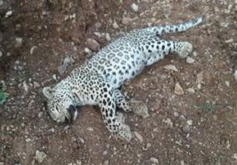 رهاسازی پلنگ ایرانی پس از گرفتاری در تله شکارچیان+فیلم و عکس