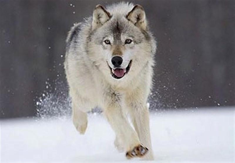 """فیلم// گله """"گرگهای خاکستری"""" در برف منطقه سوادکوه"""