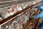 آنفلوآنزای فوق حاد پرندگان در کشور مهار شد