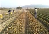 صادرات سیبزمینی در اردبیل 300 درصد افزایش یافت