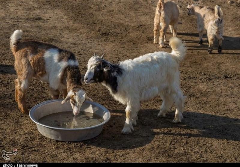 وضعیت تکاندهنده دامهای عشایر در منطقه کریتکمپ اهواز / روزانه 5 گوسفند از دامهای عشایر بختیاری تلف میشود + تصاویر