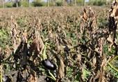 سرما به محصولات زراعی و باغی سربیشه 2 میلیارد تومان خسارت زد