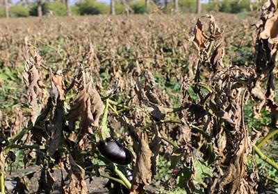سرمازدگی 1000 میلیارد تومان خسارت به بخش کشاورزی استان فارس زد