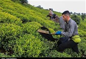 6000 هکتار از باغات چای رهاشده گیلان احیاء میشود