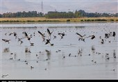 ممنوعیت شکار در تالابهای اردبیل / 2 گونه ارزشمند اردک سرسفید و غاز پیشانی سفید بزرگ مشاهده شد