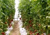 برداشت 93 هزار تن محصولات گلخانهای استان بوشهر آغاز شد