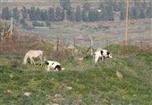 رسوایی جدید صهیونیستها در مرز لبنان/ بعد از آدم ربایی نوبت به گاودزدی رسید