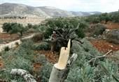 خسارت سنگین شهرکنشینان صهیونیست به باغات زیتون فلسطینیها