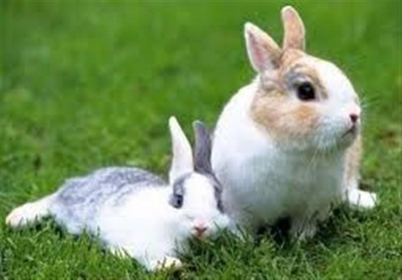 فیلم// تلاش خرگوش مادر برای مخفی کردن بچههایش از تیر خلاص شکارچی!