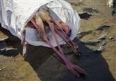 جمعآوری بیش از 2 هزار لاشه پرنده مهاجر در میانکاله