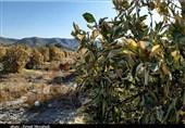 بیش از 10 هزار میلیارد تومان خسارت سرمازدگی کشاورزی در استان کرمان است