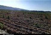 سرمازدگی 249 میلیارد تومان به محصولات زراعی و باغی اصفهان خسارت زد