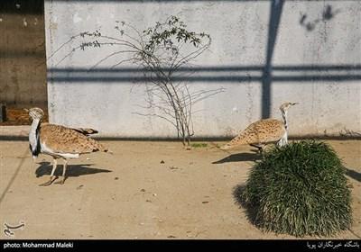 هوبره در باغ وحش ارم سبز