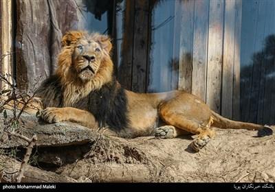 شیر نر ایرانی در باغ وحش ارم سبز