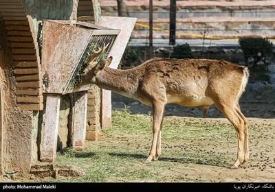 گوزن زرد ایرانی در باغ وحش ارم سبز