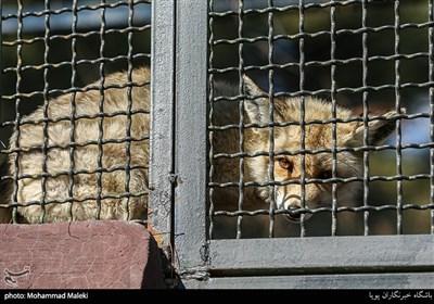 روباه در باغ وحش ارم سبز