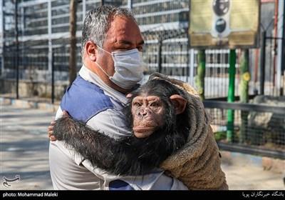 باران شامپانزه ایرانی در باغ وحش ارم سبز