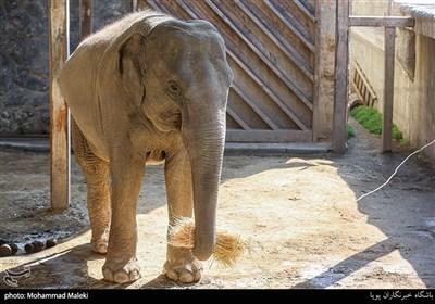فیل سریلانکایی در باغ وحش ارم سبز