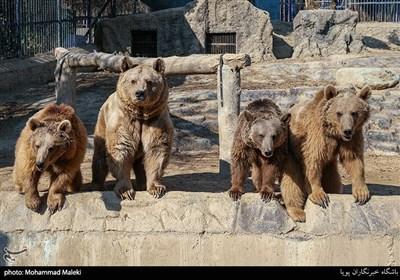 خرس در باغ وحش ارم سبز
