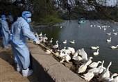 نخستین کانون شیوع بیماری آنفلوانزای فوق حاد پرندگان در استان سمنان شناسایی شد