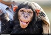 """آخرین وضعیت انتقال """"باران"""" شامپانزه معروف"""