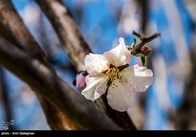 باز شدن شکوفه های بهاری در فصل زمستان در باغات مهارلو فارس