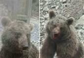 جزئیاتی از مرگ خرس زخمی مازندران در پارک پردیسان تهران + تصویر