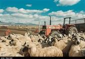 بازار داغ دلالان دام در کهگیلویه و بویراحمد/ «خشکسالی» دامداران را به خاک سیاه نشاند