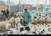 دامداران استان خراسان جنوبی علوفهای برای تغذیه دامهایشان ندارند