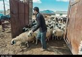 بنیاد تعاون بسیج از دامداران خراسان رضوی حمایت میکند