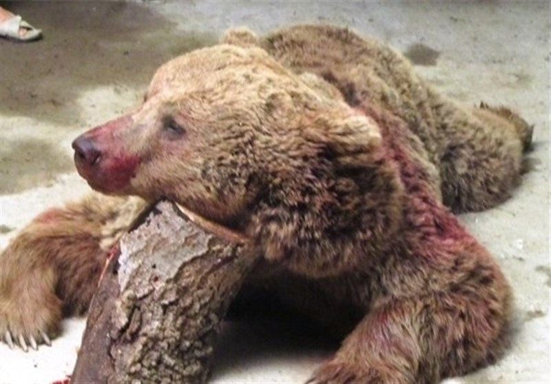 بلایی که تیرِ شکارچی بر سر یک خرس آورد + فیلم