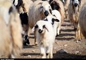 کشتار و حمل دام در کشتارگاههای کرمانشاه رایگان انجام میشود