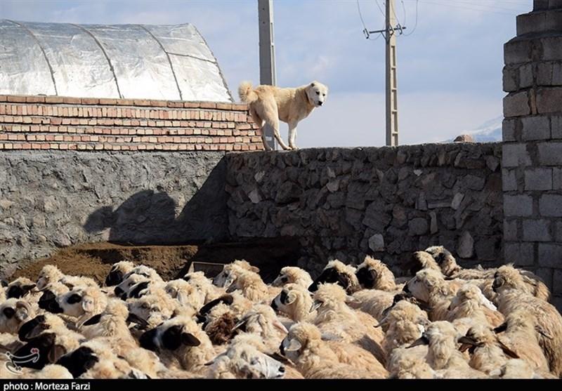 سیلاب گناباد 400 راس گوسفند را تلف کرد