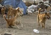 سایه ترس جولان سگهای ولگرد در استان کرمان؛ ساماندهی حیوانات بلاصاحب چه نتیجهای داشت؟