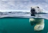 """تأثیر آب شدن یخهای قطب بر زندگی """"بزرگترین گوشتخواران خشکی"""" + فیلم"""