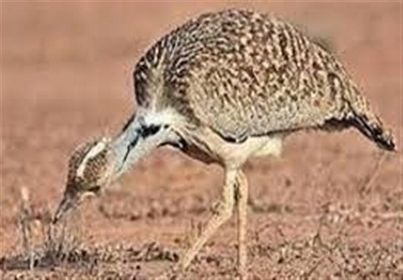 استان سمنان زیستگاه گونههای نادر پرندگان؛ وقتی خطر انقراض حیاتوحش در قلب ایران را تهدید میکند