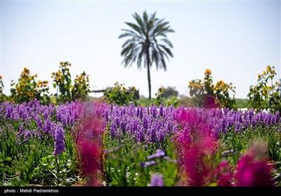 برداشت گل در روستای شبیشه شهرستان حمیدیه