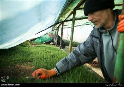تعدادی از مددجویان در گلخانه واقع درسرای احسان فعالیت میکنند