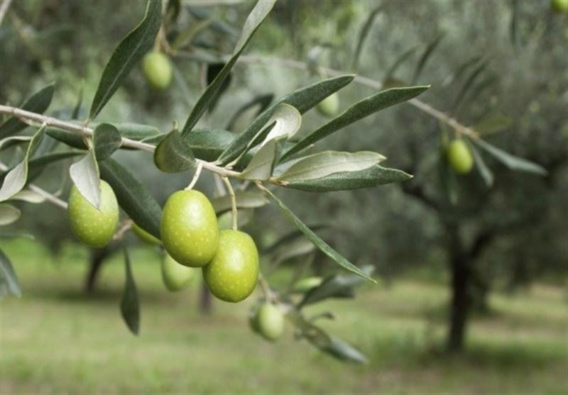 """10 دلیل محکم برای کاشت """"درخت زیتون"""" در محیطهای شهری"""