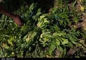 قیمت صیفیجات در بازار همدان 50 درصد کاهش یافت