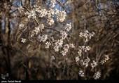 شکوفه های بهاری در کرمانشاه