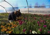 32 واحد گلخانه در کهگیلویه و بویراحمد غیر فعال است