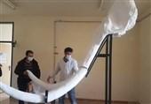 """بازسازی و نصب جمجمه """"فسیل ماموت 2 میلیون ساله"""" در ایران"""
