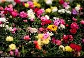 قابلیت صادرات 1 میلیارد دلاری گل/ وزارتخانه های نیرو و صمت از موانع افزایش تولید و صادرات گل هستند