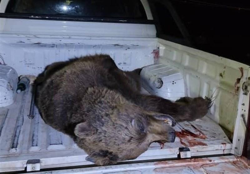 شلیک سودجویان بر قلب محیط زیست در سمیرم/ روایت تسنیم از یک قلاده خرس که قربانی خرافه و باورهای غلط مردم شد